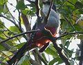 Cuban Trogon, Priotelus temnurus - Flickr - gailhampshire (3).jpg