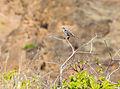 Cucuve de Galápagos (Mimus parvulus), Punta Pitt, isla de San Cristóbal, islas Galápagos, Ecuador, 2015-07-24, DD 71.JPG