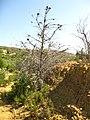 Cupressus forbesii at Coal Canyon-Sierra Peak, Orange County - Flickr - theforestprimeval (11).jpg