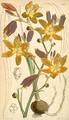 Curtis's Botanical Magazine, Plate 4335 (Volume 73, 1847).png