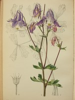 Curtis's Botanical Magazine Tab 9405 Aquilegia grata from Karl Maly's sample Dobrun Bosnia 1909.JPG