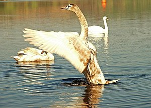 English: Cygnet at the Corbet Lough near Banbr...