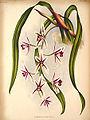 Cymbidium aloifolium11.jpg