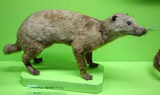 Otter civet species of mammal