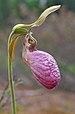 Cypripedium acaule - Henvey Inlet1.jpg