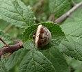 Cyrtarachne ixoides 3.JPG