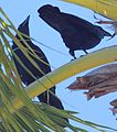 DRbirds White-Necked Crow 1c.jpg