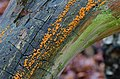 Dacrymyces stillatus - Dacryomyces stillatus - Gelbe oder Zerfließende Gallertträne - 01.jpg