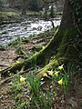 Daffodils by the Teign - geograph.org.uk - 363822.jpg