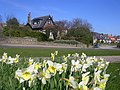 Daffodils on Springfield Road, Aberdeen - geograph.org.uk - 158278.jpg