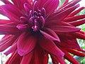 Dahlia flower - panoramio (55).jpg