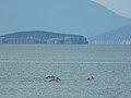 Dalmatian pelican Prespa.jpg