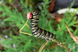 Danaus plexippus caterpillar 1.jpg
