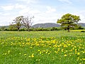 Dandelion Field, near Castlemorton - geograph.org.uk - 165542.jpg