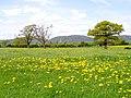 Dandelion Field, near Castlemorton - geograph.org.uk - 165542.jpg