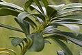 Daphne laureola coteau-charteves 02 12072007 2.jpg