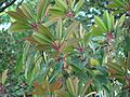 Daphniphyllum macropodum new foliage - Flickr - peganum.jpg