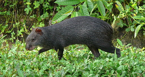 roedores del amazonas: Agutí negro (Dasyprocta fuliginosa)