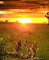 Dawn with cubs.jpg