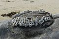 Decomposing male Humpback Whale (Megaptera novaeangliae) Genitalia - Clusters of Barnacles surround the Genitalia - 3 July 2014.jpg