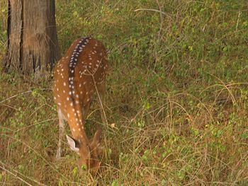 Deer at Ranthambore Tiger Reserve.jpg