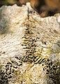 Deer skull (27954172235).jpg