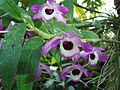 Dendrobium nobile (BG Zurich)-01.JPG