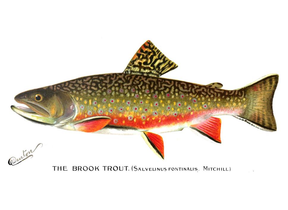 Denton Brook Trout 1896