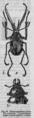 Descent of Man - Burt 1874 - Fig 24.png