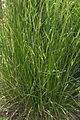 Deschampsia caespitosa 'Northern Lights' plant.jpg