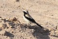 Desert Wheatear (Oenanthe deserti) (8079430894).jpg