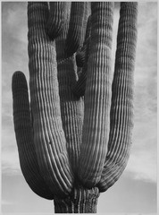 "Detail of cactus ""Saguaros, Saguro National Monument,"" Arizona. (Vertical Orientation), 1933 - 1942 - NARA - 519974.tif"