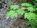 Devils Club plant and fruit alongside creek at Longmire meadow. (5ccb90e093be48fe94356ab7caaff0c5).JPG