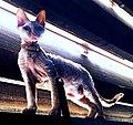 Devon rex kitten (retouched).jpg