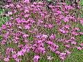 Dianthus deltoides01.JPG