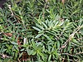 Dianthus deltoides 2017-09-26 4523.jpg