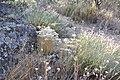 Dianthus lusitanus 1.jpg