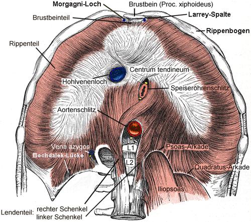 Diafragma (anatomía) - Wikiwand