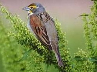 Dickcissel - Male in nonbreeding plumage - Ouachita National Forest