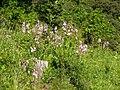 Dictamnus albus 250510.jpg