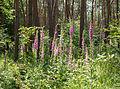 Digitalis purpurea - Purple Foxglove - Roter Fingerhut - Hesse - Germany - 22.jpg