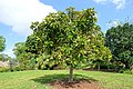 Dillenia indica - Mounts Botanical Garden - Palm Beach County, Florida - DSC03871.jpg