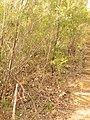 Dillwynia retorta (15754705922).jpg