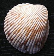 180px-Dinocardium_robustum.jpg