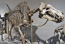 Dinohyus hollandi (fossil mammal)Lower Miocene of Nebraska.jpg