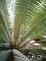 Dioon spinulosum male BotGardBln0712201C.JPG