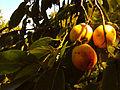 Diospyros virginiana - American Persimmons.jpg