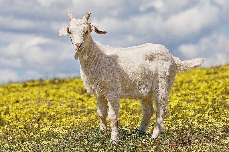 File:Domestic goat kid in capeweed edit.jpg