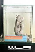 Domestic pig fetus- FMVZ USP-26.jpg