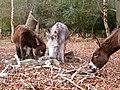 Donkeys eating bark in Ashurst Wood, New Forest - geograph.org.uk - 148297.jpg